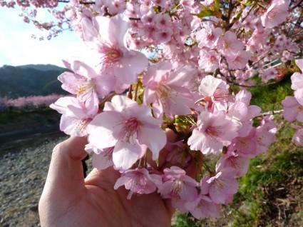 河津桜ドライブ