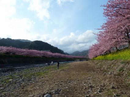河の両岸にびっしりの桜!